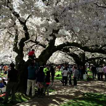Photo of UW Cherry Blossom in University District, Seattle